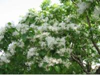 画像:落葉高木。葉は対生